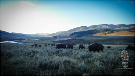 Image buffalo and wildlife in Lamar Valley of Yellowstone NP